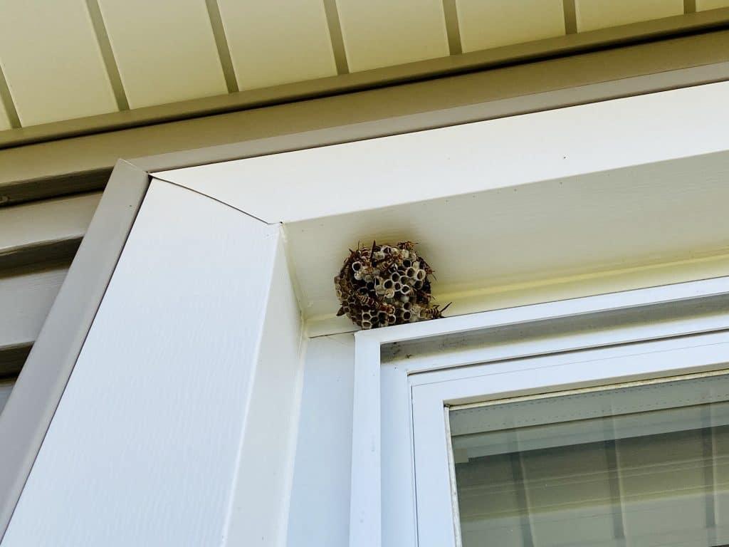 Les nids de guêpes sont extrêmement dangereux : n'intervenez pas seul !