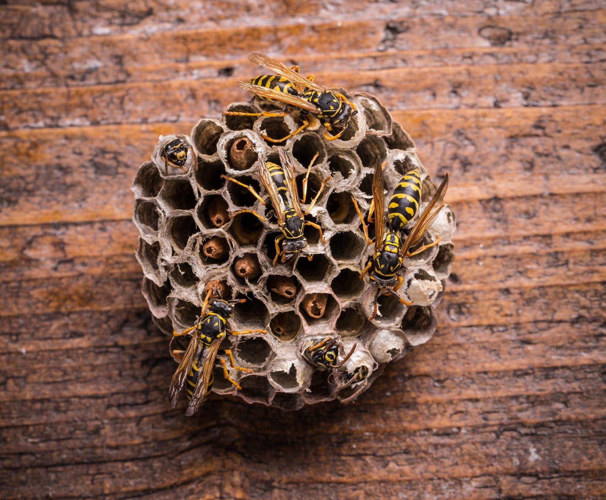 assurance habitation prend en charge les nids de guêpes